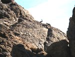 Big Horn Sheep in Goldstrike Canyon